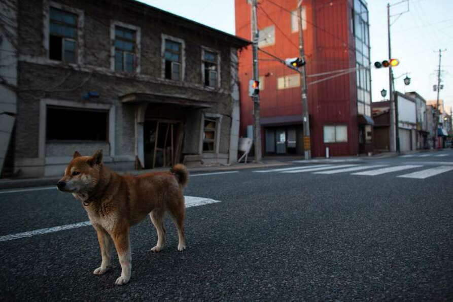 An abandoned dog is seen within the exclusion zone, about 6km away from Fukushima Nuclear Power Plan