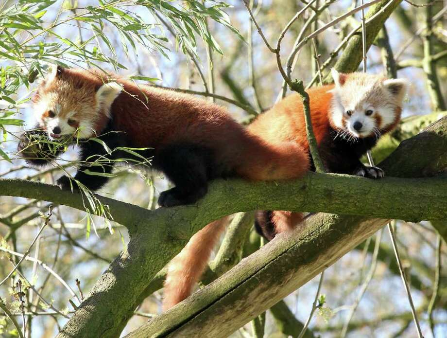 Two red panda siblings explore their open-air enclosure of the zoo in Dortmund, Germany. Photo: AFP/Getty Images