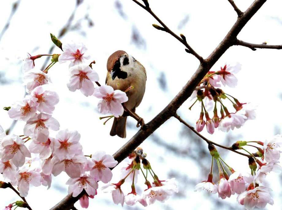 A sparrow sits on a branch of a fully bloomed cherry tree at Tokyo's Ueno Park.  Photo: AFP/Getty Images