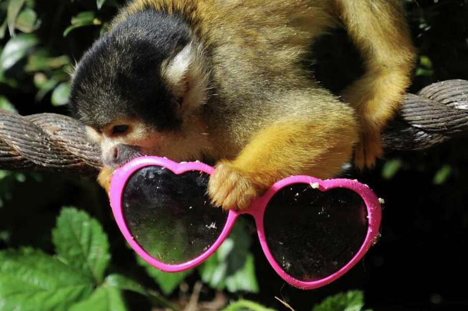 A Bolivian squirrel monkey is pictured with a pair of sunglasses smeared with bitter apple to train him not to steal visitors' sunglasses, at ZSL London Zoo, in London. Zoo keepers have discovered Bolivian squirrel monkeys stealing visitors' sunglasses since the sun came out. Photo: AFP/Getty Images