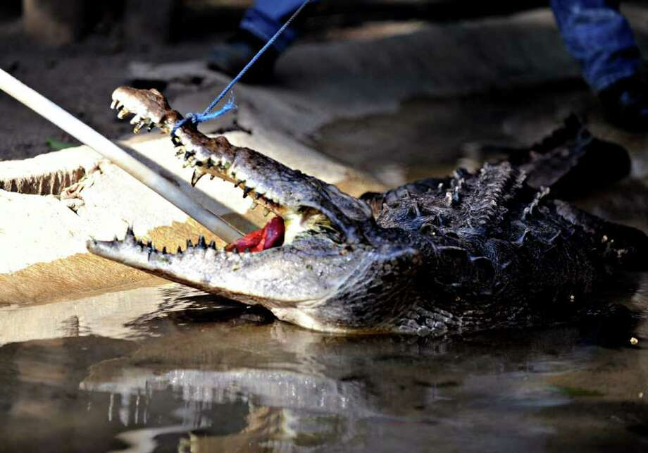 Zookeepers attempt to force-feed a 35-year-old crocodile at the National Zoo after the aquatic reptile reportedly lost its appetite for several days due to stress and ill-treatment at its previous home in a public park.  Photo: AFP/Getty Images