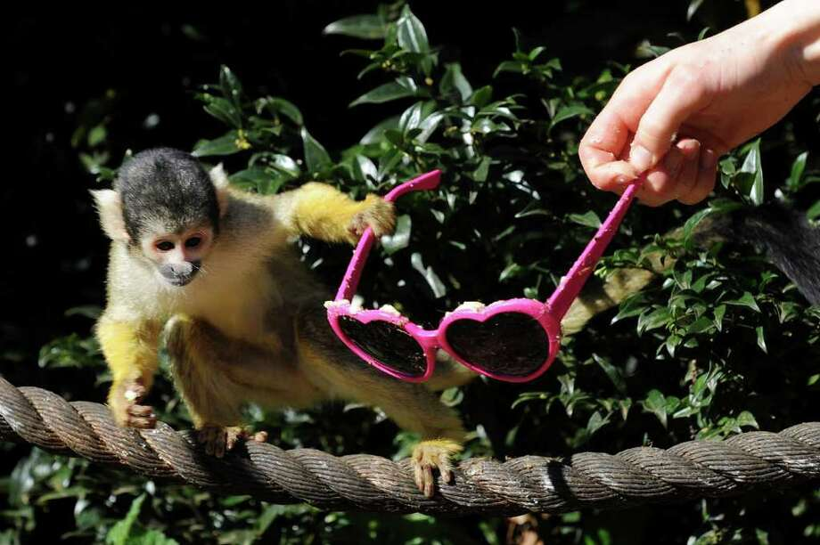 A Bolivian squirrel monkey pulls a pair of sunglasses smeared with bitter apple from the hand of a zoo keeper at ZSL London Zoo, in London. Photo: AFP/Getty Images