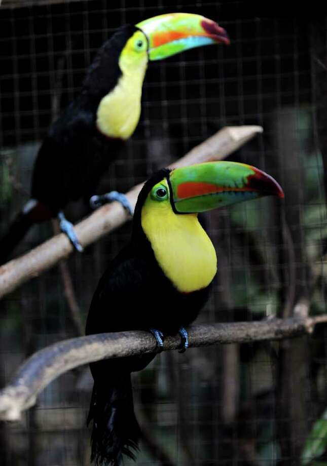 Two toucans are seen at the National Zoo. Photo: AFP/Getty Images