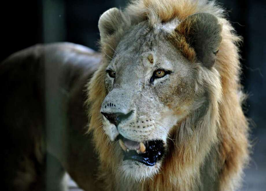 A lion called Neron is seen at the National Zoo. Photo: AFP/Getty Images