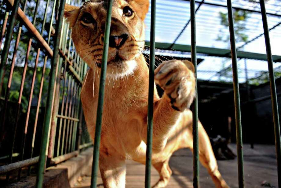 A lioness named Milly is pictured at the National Zoo. Photo: AFP/Getty Images