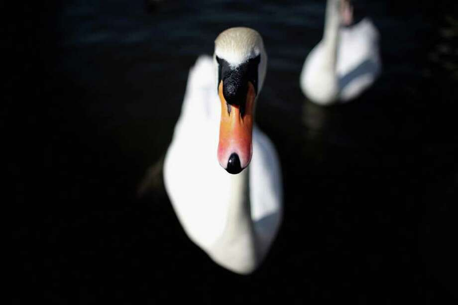 A swan swims in the River Thames in Windsor, England. Photo: Dan Kitwood, Getty Images / 2011 Getty Images