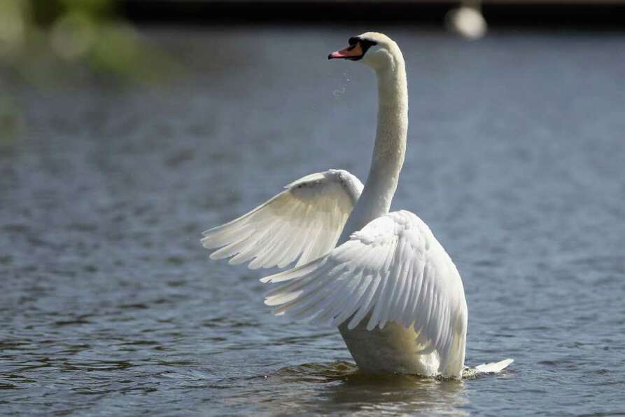 A swan flaps it's wings in the River Thames in Windsor, England.
