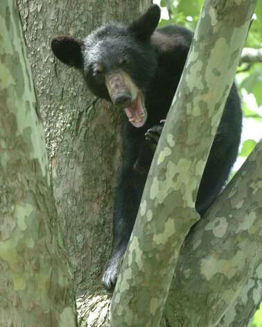 A young black bear sits in a tree in the rear of 33 John David Lane in Albany, New York May 27, 2004.  He climbed the tree to avoid the humans that awaited him on the ground below the tree.  ENCON officers were called to tranquilize the bear and remove him from the tree.  Here the bear yawns at the humans below. (Skip Dickstein / Times Union Archive) Photo: SKIP DICKSTEIN / ALBANY TIMES UNION