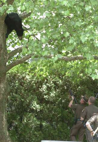 A young black bear sits in a tree in the rear of 33 John David Lane in Albany, New York May 27, 2004.  He climbed the tree to avoid the humans that awaited him on the ground below the tree.  ENCON officers were called to tranquilize the bear and remove him from the tree. Here ENCON officers shoot a rubber bullet at the bear to force him back up the tree to await the tranquilizer gun. (Skip Dickstein / Times Union Archive) Photo: SKIP DICKSTEIN / ALBANY TIMES UNION