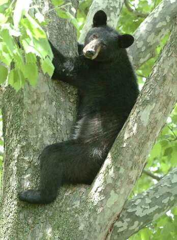 A young black bear sits in a tree in the rear of 33 John David Lane in Albany, New York May 27, 2004.  He climbed the tree to avoid the humans that awaited him on the ground below the tree.  ENCON officers were called to tranquilize the bear and remove him from the tree. (Skip Dickstein / Times Union Archive) . Photo: SKIP DICKSTEIN / ALBANY TIMES UNION
