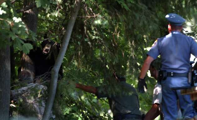 A male black bear, thought to be 2 years old,starts to back down out of a tree after being shot with a tranquilizer gun in Delmar, N.Y. on Thursday July 17, 2003.  After loaded into a metal bear carrier, the bear was taken to Delaware County to be released. (Paul Buckowski / Times Union Archive) Photo: PAUL BUCKOWSKI / ALBANY TIMES UNION