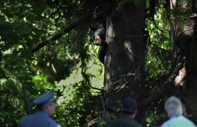 A male black bear, thought to be 2 years old, peers out from around a tree to look at law officials in Delmar, N.Y. on Thursday July 17, 2003.  The bear was shot with a tranquilizer gun and then was being taken to Delaware County to be released. (Paul Buckowski / Times Union Archive) Photo: PAUL BUCKOWSKI / ALBANY TIMES UNION