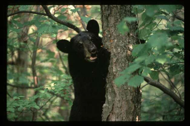 Black bear in Adirondacks (DEC)
