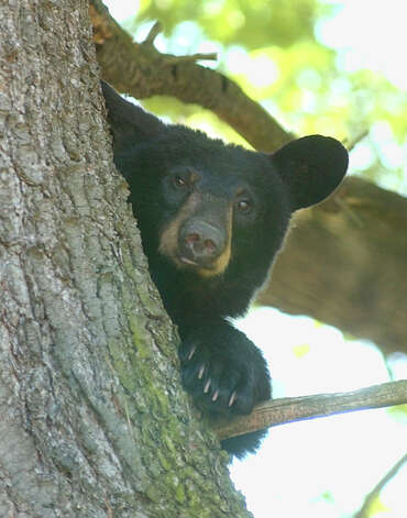 A black bear peers down at the gathering of onlookers from a tree along Sarah Street Stroudsburg, Pennsylvania on Monday, June 2, 2008. The bear was caught and released on State gamelands with a tag on it.   (Keith R. Stevenson/Pocono Record) Photo: Keith R. Stevenson / Pocono Record