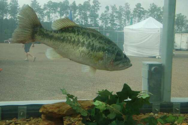 Several of the bigger bass caught in the Big Bass Splash tournament are brought to a display tank near the Umphrey Pavilion.  Patty Lenderman/Lakecaster