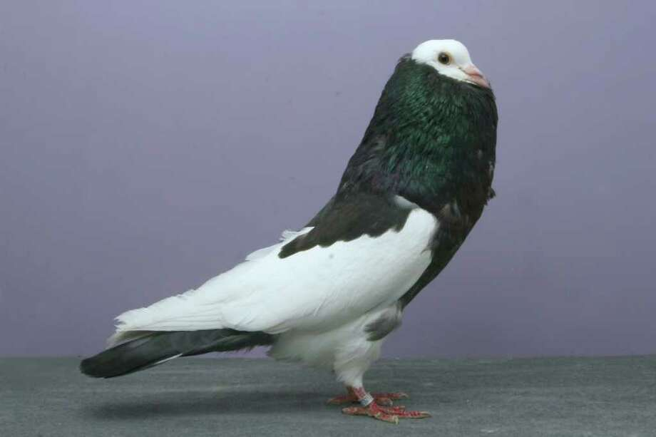 Ryan Bateman's 2010 Grand National Pigeon Show champion Bohemian Pouter. Photo: National Pigeon Association