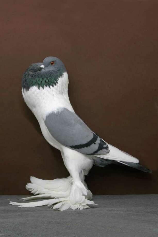 Beals and Gardner's A 2010 Grand National Pigeon Show champion Bavarian Pouter. Photo: National Pigeon Association