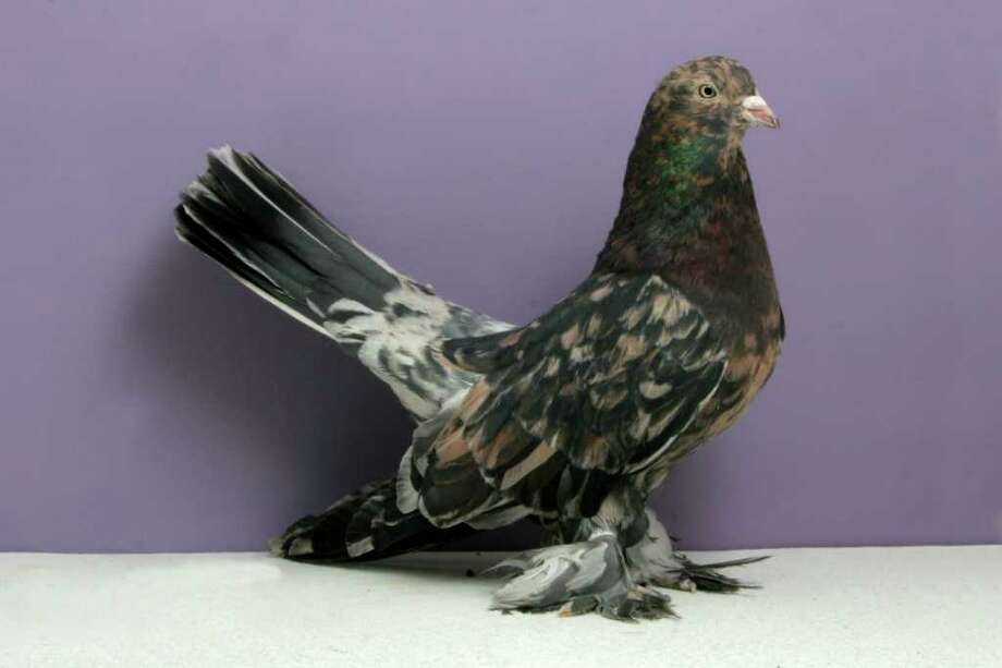 Brad Child's 2010 Grand National Pigeon Show champion Persian Roller. Photo: National Pigeon Association