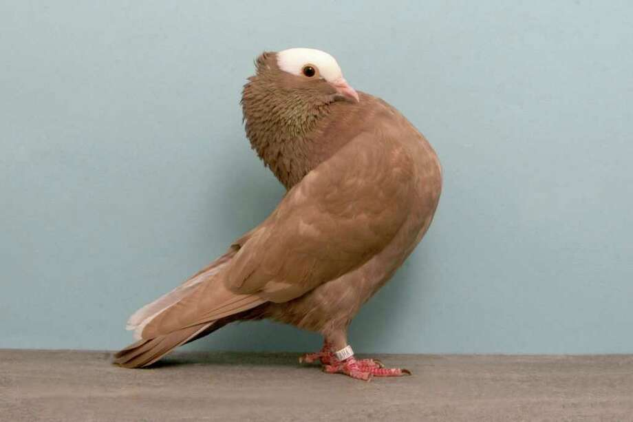 James Jensen's 2010 Grand National Pigeon Show champion Mookee. Photo: National Pigeon Association