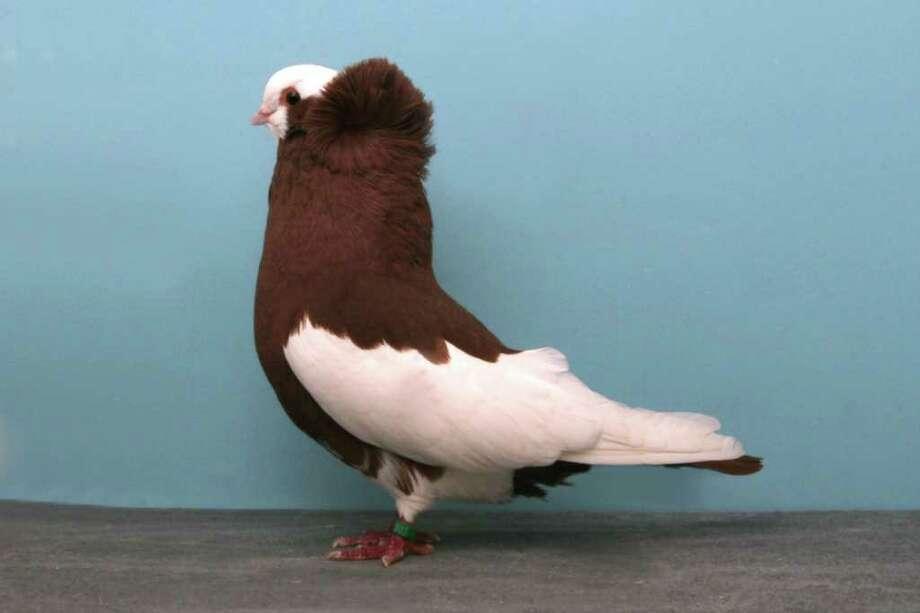Darrell Sebastian's 2010 Grand National Pigeon Show champion Komorner Tumbler. Photo: National Pigeon Association