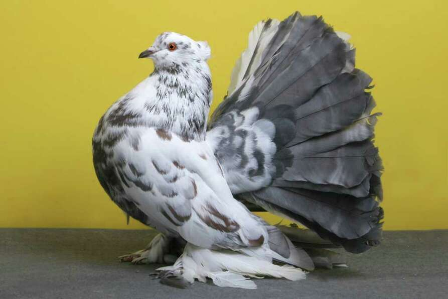 Rick Schlais' 2010 Grand National Pigeon Show champion Indian Fantail.