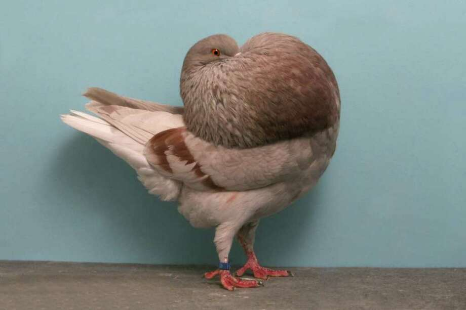 Larry Jolly's 2010 Grand National Pigeon Show champion Holle Cropper. Photo: National Pigeon Association