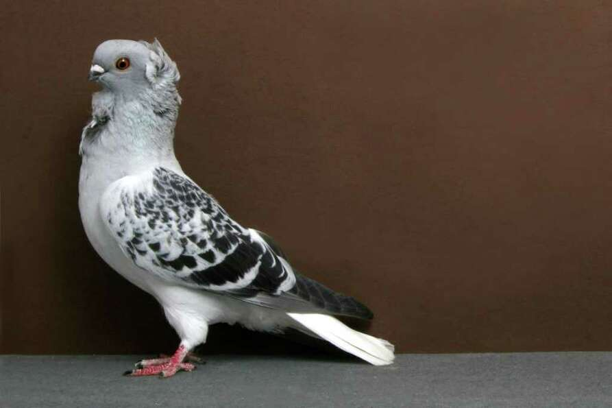 John de Carlo Jr.'s 2010 Grand National Pigeon Show champion Hamburg Sticken.