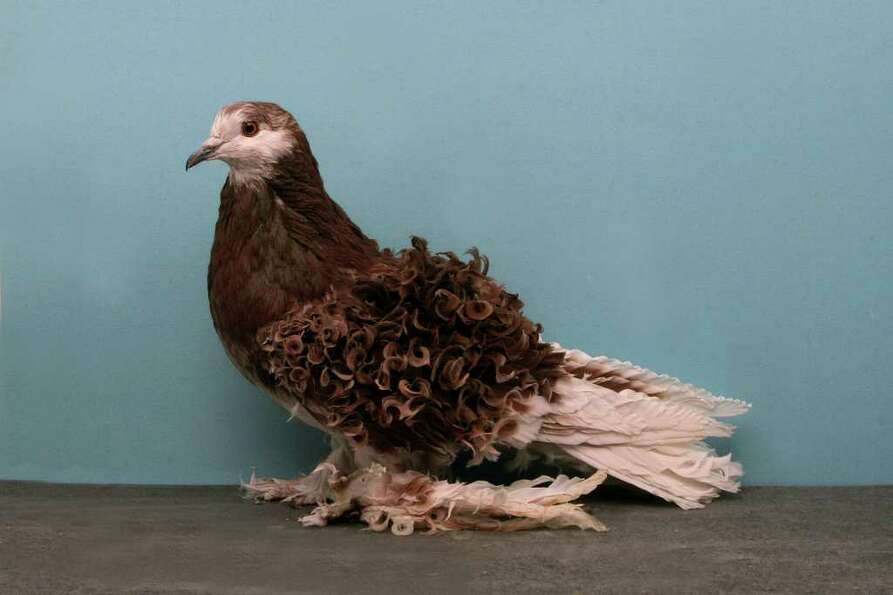 Tally Mezzanatto's 2010 Grand National Pigeon Show champion Frillback.