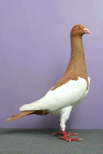 Bob Pilchar's 2010 Grand National Pigeon Show champion English Magpie.