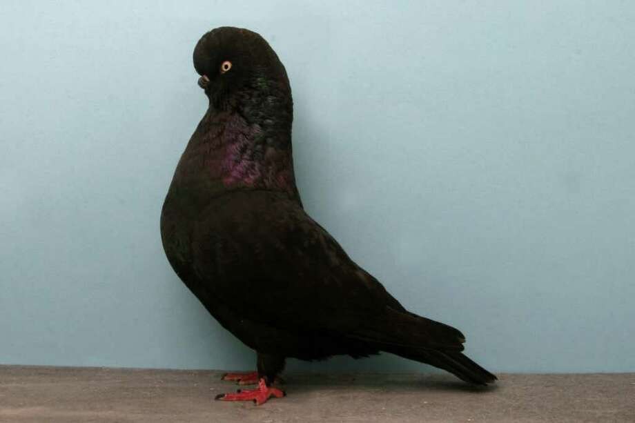 Santos Comacho's 2010 Grand National Pigeon Show champion ELFCL Tumbler. Photo: National Pigeon Association