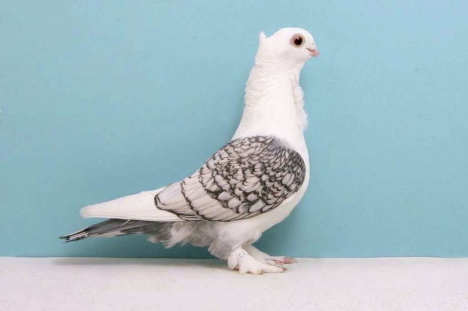 Larry Jolly's 2010 Grand National Pigeon Show champion Classic Oriental Frill. Photo: National Pigeon Association