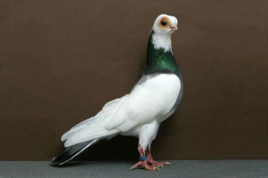 Mike  Spencer's 2010 Grand National Pigeon Show champion Budapest Tumbler. Photo: National Pigeon Association