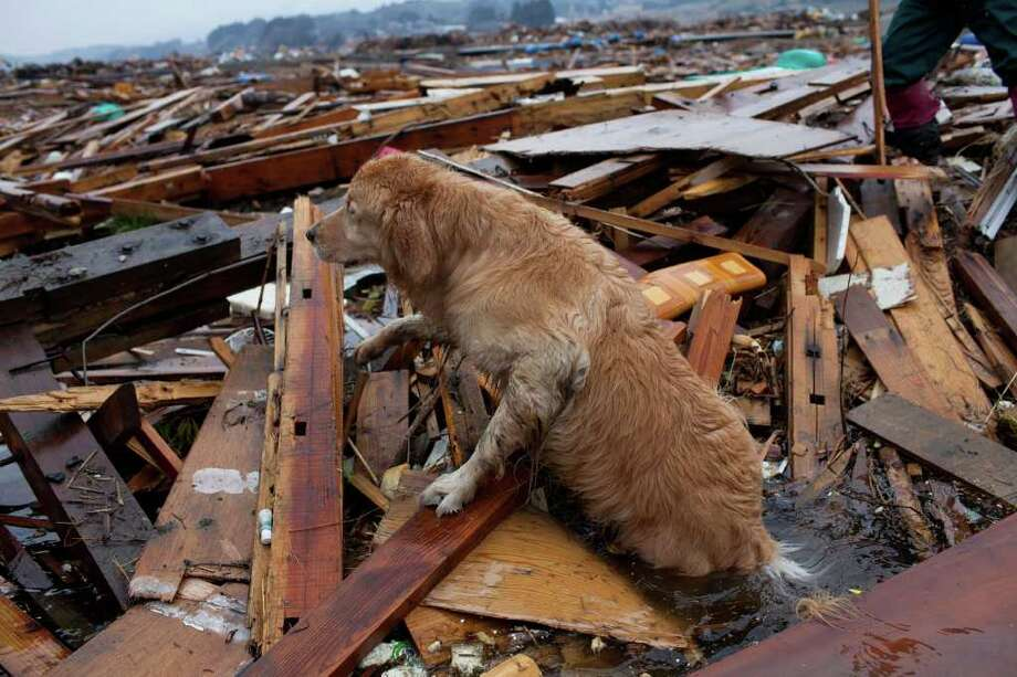 A rescue dog searches for victims during a joint operation with the Metropolitan Police Department in Rikuzentakata, Miyagi prefecture, Japan on April 9, 2011. Residents of towns surrounding a crippled nuclear plant are regularly returning home, an official said, defying health warnings as the world's worst nuclear accident since Chernobyl drags on.  Photo: AFP/Getty Images