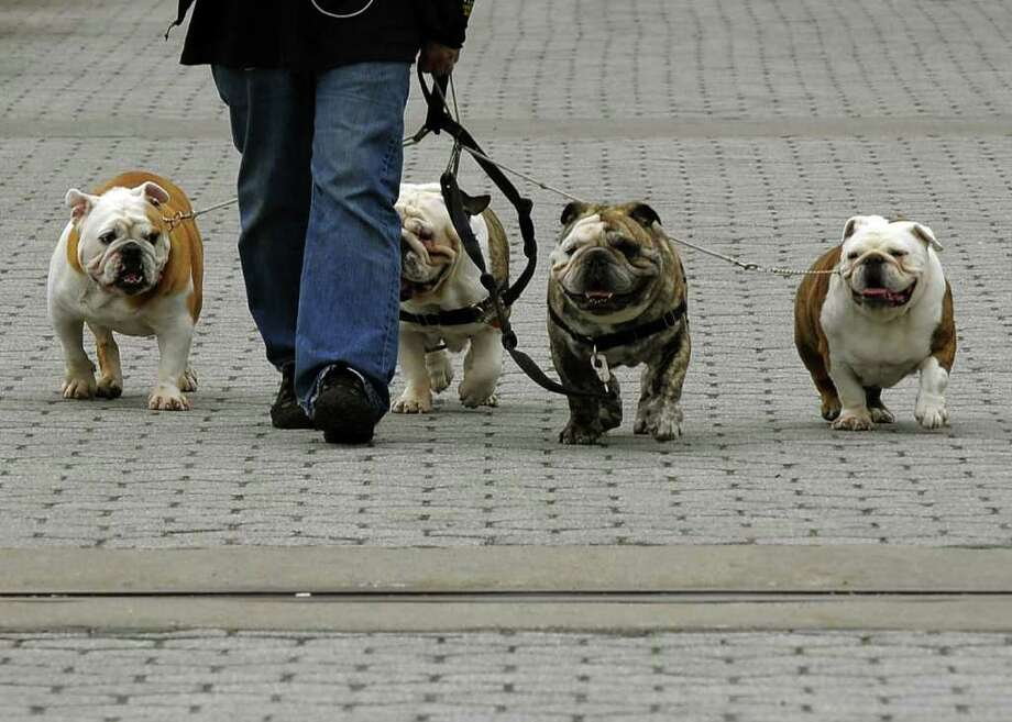 A dog walker takes four bulldogs for a stroll down the Promenade at Carl Schurz Park on the Upper East Side on New York on April 15, 2011. New Yorkers are flocking to the outdoors with the warmer weather after a brutal winter of snow and cold. Photo: AFP/Getty Images