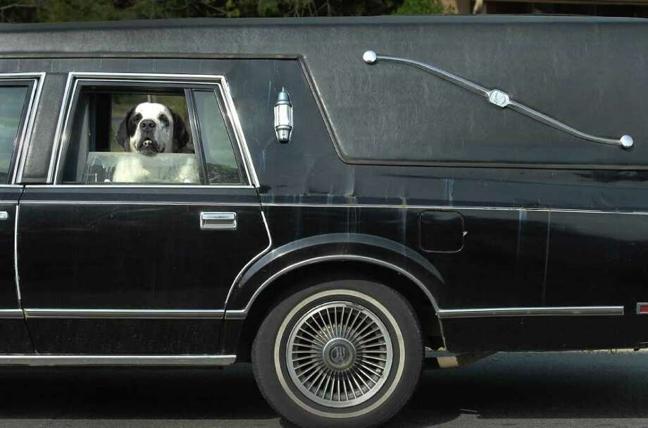Duke hangs his head out the of a hearse while riding with his owner Neal Hager in Charlotte, N.C. Friday, April 15, 2011. Hager bought the car three years ago to transport his aging half St. Bernard, half Newfoundland dog. They were on their way home after an outing at a nearby park. Photo: AP