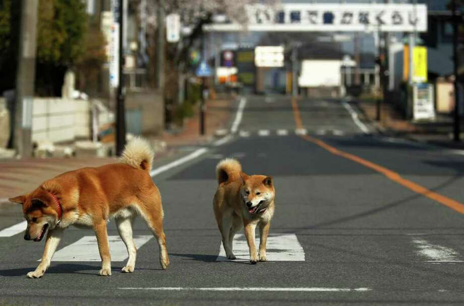 Collared dogs roam on a street in Futaba, Fukushima Prefecture, northeastern Japan, Friday, April 15, 2011. Photo: AP