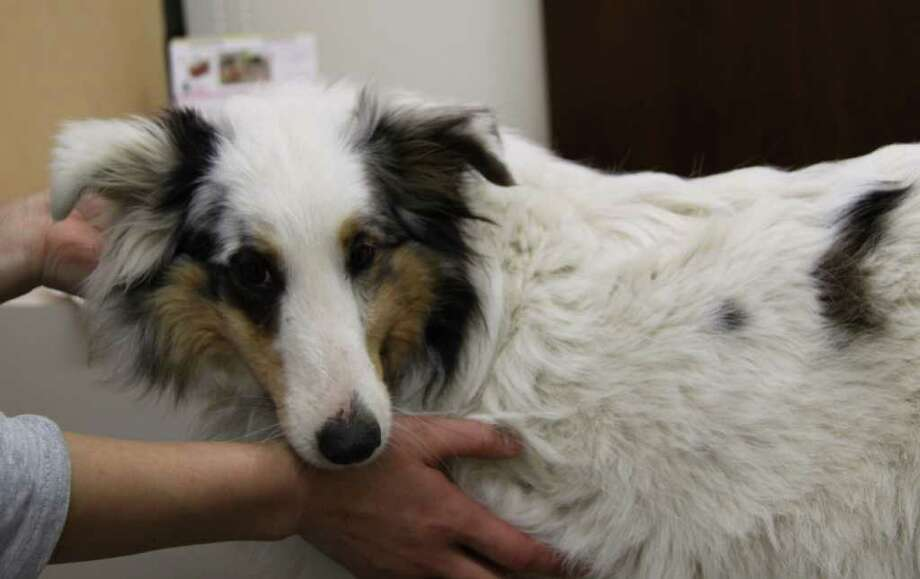 In this April 11, 2011 photo released by animal rescue group Sheltie Rescue, a dog rescued from a zone that was off-limits to people because of radiation fears in Fukushima prefecture, is treated at an animal hospital in Kawasaki, near Tokyo. The group rescued a pack of shelties after seeing an Associated Press photo of them roaming in the abandoned town of Minami Soma, near Japan's tsunami-damaged nuclear plant. Photo: AP