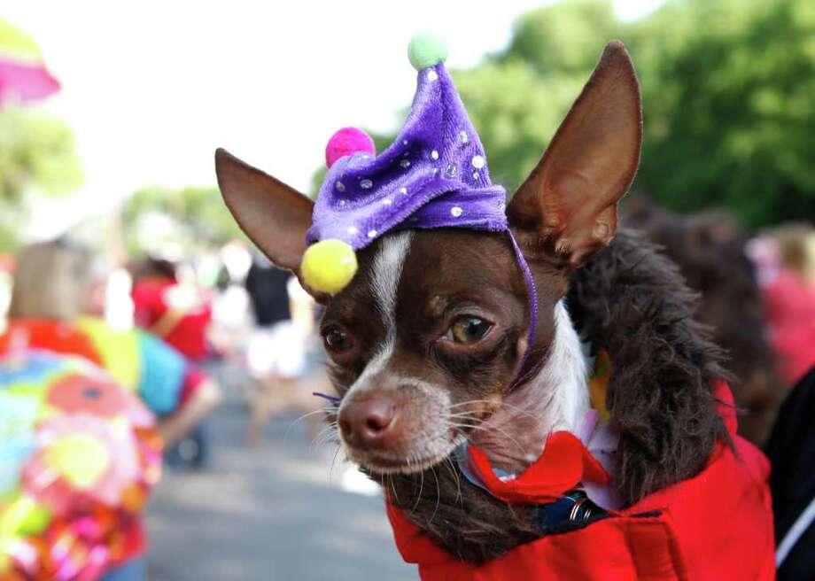 """Bullet"" a chihuahua owned by Sabrina Hernandez, at the Fiesta Pooch Parade in Alamo Heights, Texas on Saturday, April 16, 2011. Photo: ALICIA WAGNER CALZADA, SPECIAL TO THE EXPRESS-NEWS / Alicia Wagner Calzada"