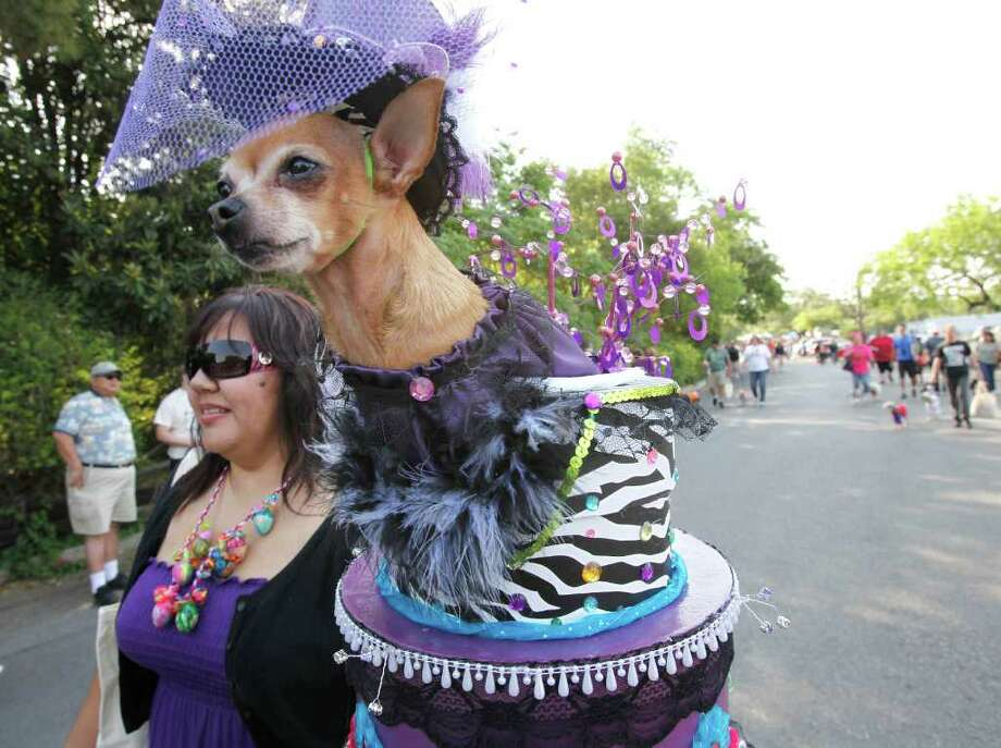 """Myra,"" a chihuahua owned by Elaine and Linda Pierce, won ""Top Dog"" at the Fiesta Pooch Parade in Alamo Heights, Texas on Saturday, April 16, 2011. Photo: ALICIA WAGNER CALZADA, SPECIAL TO THE EXPRESS-NEWS / Alicia Wagner Calzada"