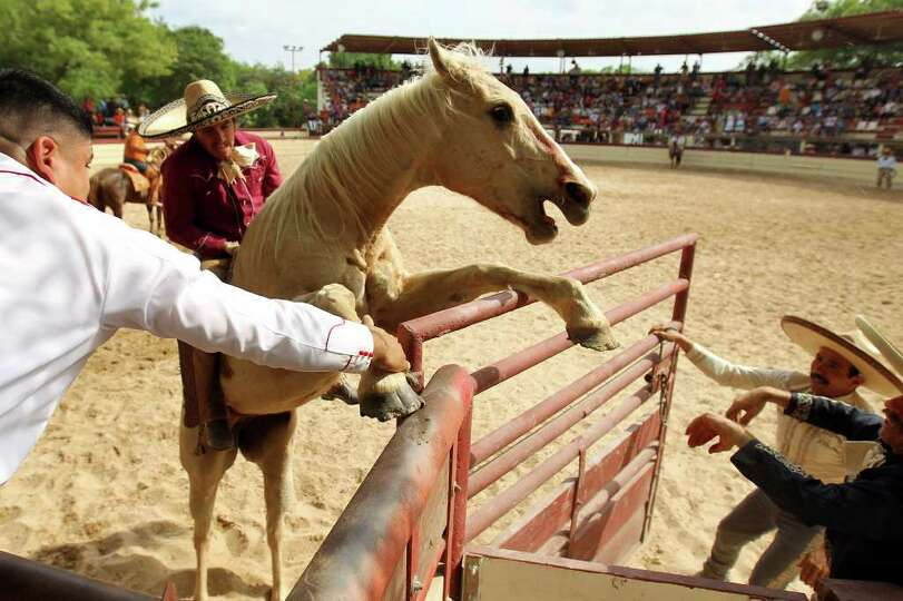 A bronc horse bucks over the gate as charros try to free his feet during the Fiesta Charreada at the