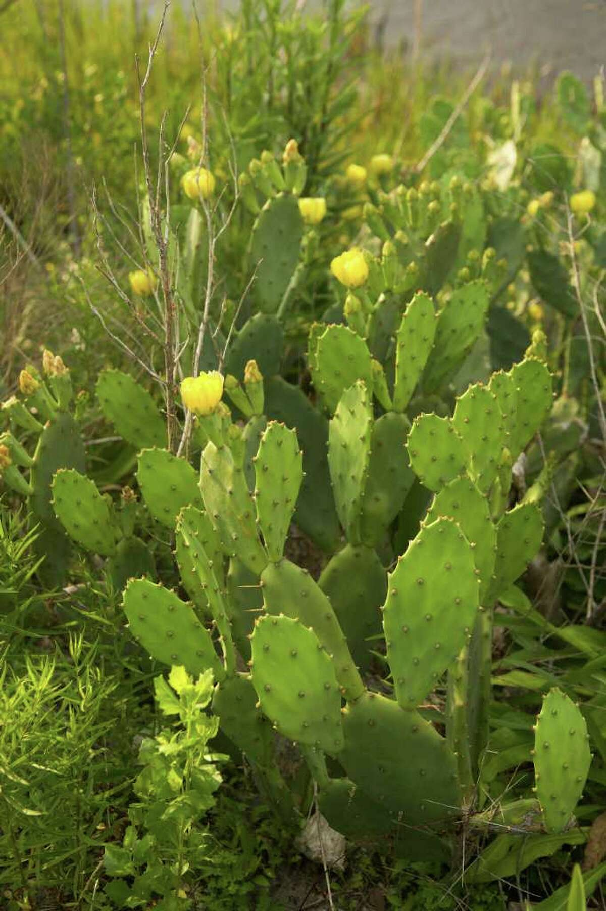 Prickly pear cactus, Opuntia spp., grows throughout the United States, with the greatest diversity in the desert Southwest and Mexico. These species are regarded as extremely important plants, especially in arid and semiarid regions where few plants can be grown, because of their ecological, agricultural, industrial, and cultural value. (Courtesy of USDA)