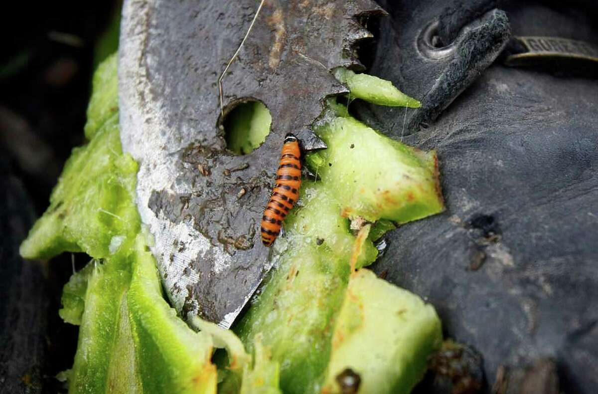 In this Feb. 16, 2011 photo, a cactus moth larva crawls across the tip of a machete that was used to cut open a prickly pear cactus on the bank of Cactus Canal in Jefferson Parish, La. The moth's larvae infest prickly pear cacti, and officials are trying to prevent them from spreading further west to Texas, where the infestation could explode.