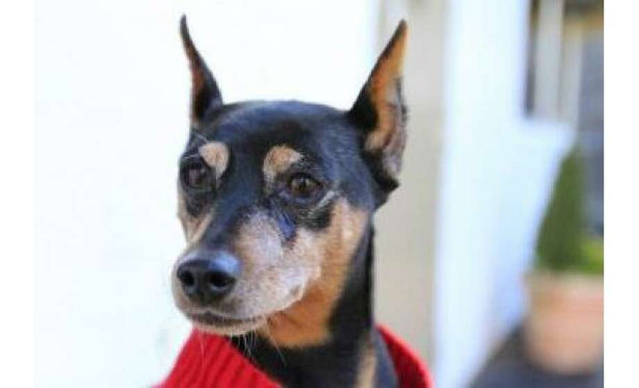 Keemo: Miniature Pinscher / Mix