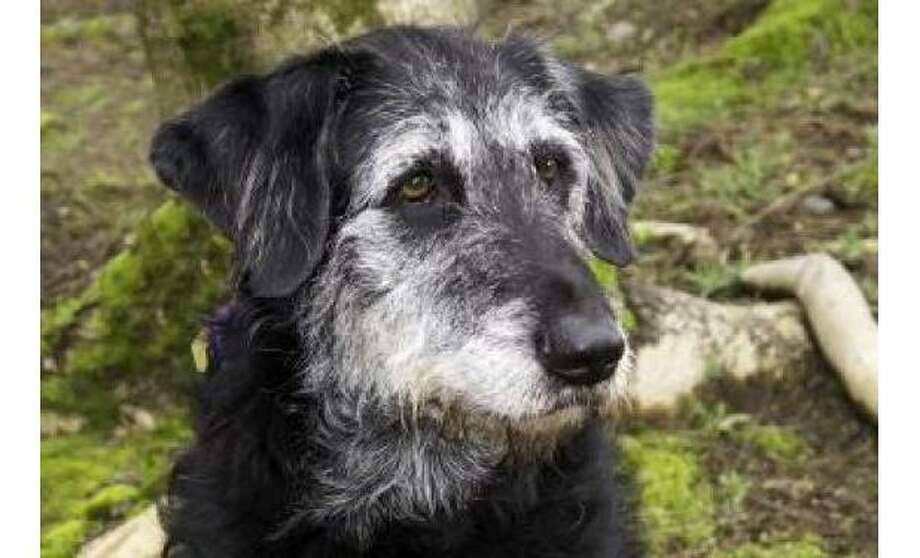 Spotchka:Terrier, Airedale / Retriever, Labrador, Female | Medium, 7 years, 10 months, Adoption Status: Available. See the Seattle Humane Society for more information. Photo: Seattle Humane Society