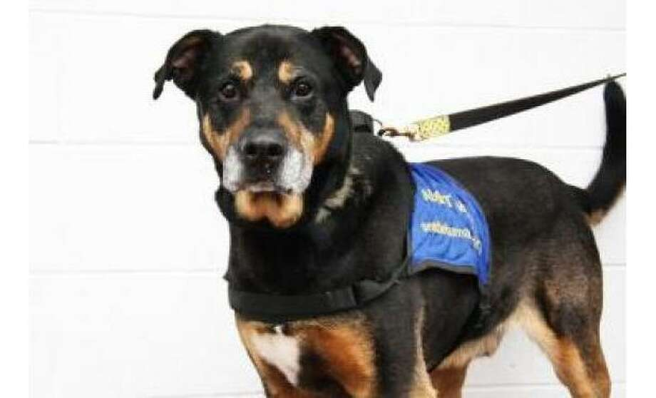 Bear: Shepherd / Rottweiler, Male | Large, 8 years, 3 months, Adoption Status: Available. See the Seattle Humane Society for more information. Photo: Seattle Humane Society