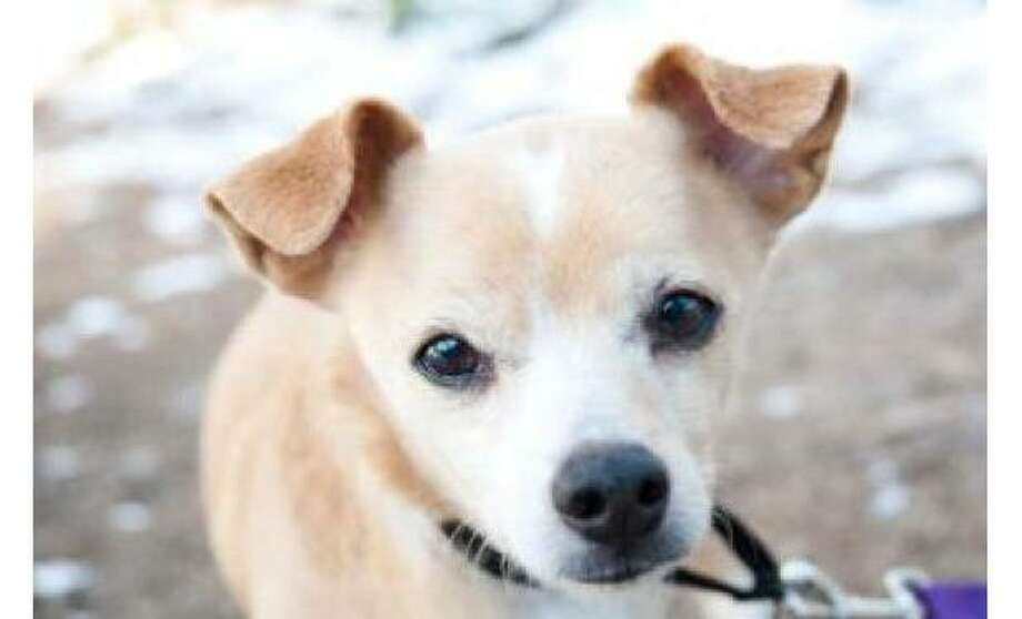 Harry: Terrier / Welsh Corgi, Cardigan,