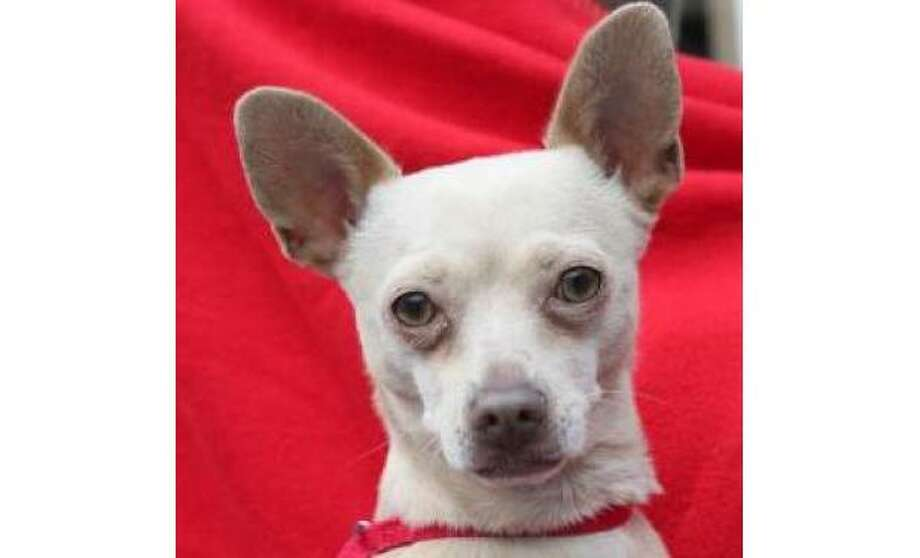 Brandy: Chihuahua, Short Coat / Mix Female | Small, 3 years, 6 months, Adoption Status: Available. See the Seattle Humane Society for more information. Photo: Seattle Humane Society
