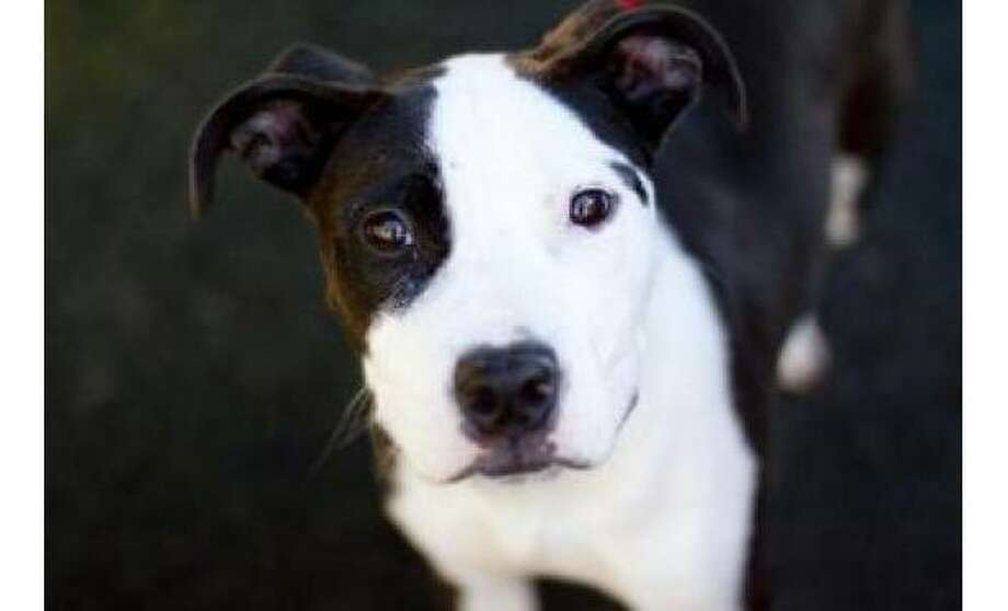 Vivienne Violet: Terrier, American Pit Bull / Mix