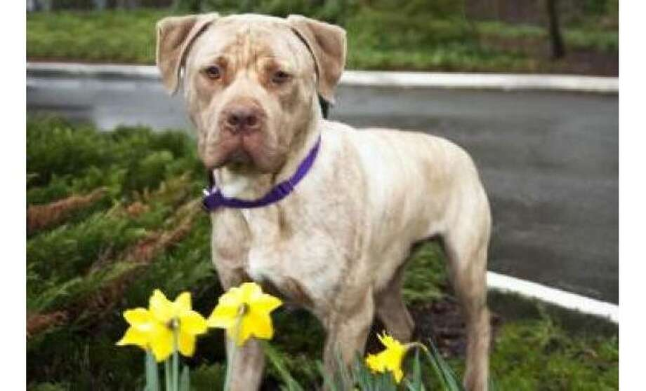 Jamie Jonquil: Terrier, American Pit Bull / Mix