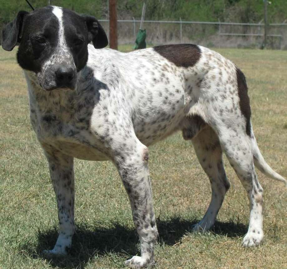Oreo, a black-and-white pointer mix, is in need of a permanent home.